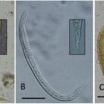 Troglostrongylus brevior & Troglostrongylus subcrenatus