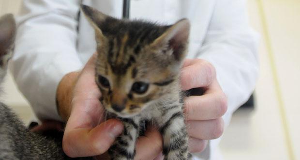 Verminosi broncopolmonare nel gatto: scoperti due nuovi parassiti