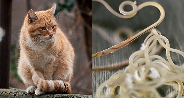 Buone notizie per la diagnosi di filariosi nel gatto