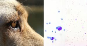 Caso citologico Labrador Retriever