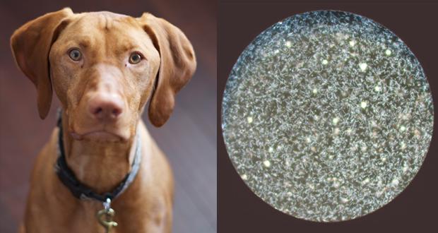 Leptospirosi nel cane, dal sospetto alla diagnosi corretta