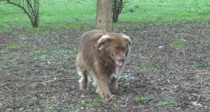Malattie del cane: la leishmaniosi canina [video]