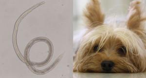 Un caso atipico e fatale di Strongyloides stercoralis nel cane