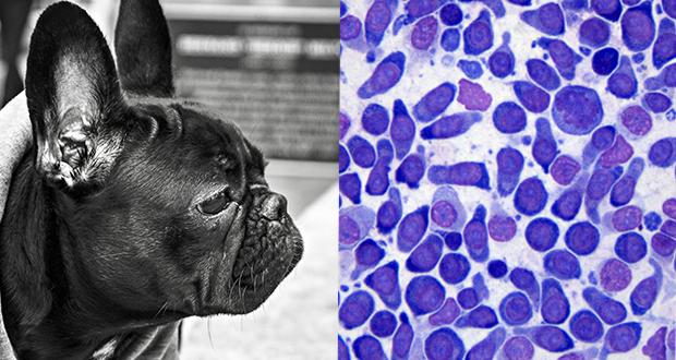 Quiz citologico Linfoma bulldog Francese