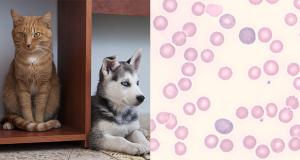 Anemia nel cane e nel gatto: diagnosi e classificazione