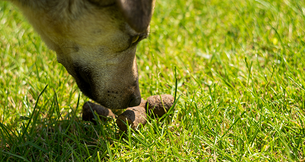 Se il cane è coprofago… attenti alla diagnosi di parassiti!