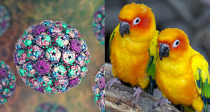 Polyomavirus nei pappagalli: viremia, shedding e risposta anticorpale