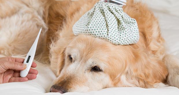 Influenza canina: una nuova zoonosi?