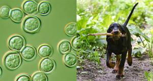 Blastomicosi. Un esempio della necessità di sorveglianza integrata tra sanità umana e animale