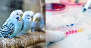 Gestione del campione per esami diagnostici nei pet birds
