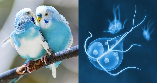Malattie degli uccelli ornamentali di origine parassitaria