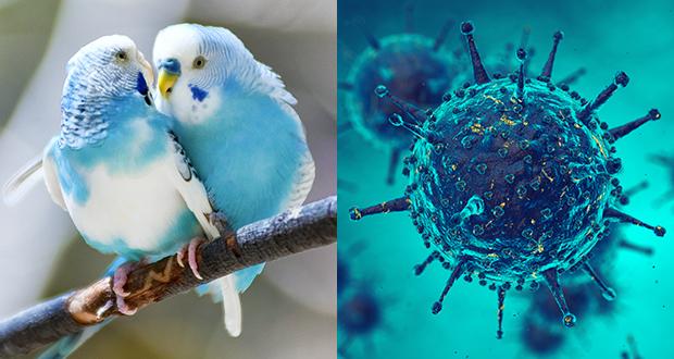 Malattie degli uccelli ornamentali di origine virale
