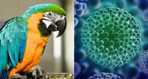 Infezione da circovirus nei pappagalli