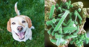 rickettsia-rickettsi-conorii-cane