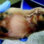 Alabama Rot CGRV Lesione