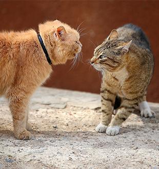 Difficoltà di convivenza tra gatti