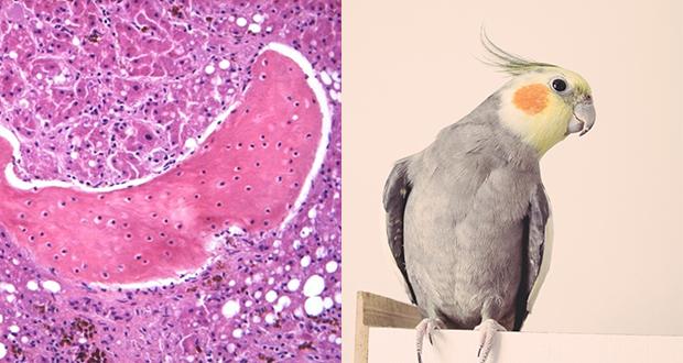 Un episodio di metaplasia ossea in adulto di calopsite