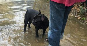 Collabora alla nuova ricerca IZSVe sulla leptospirosi nei cani