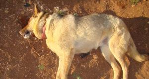 Cimurro, una malattia ad alta mortalità per il cane (ma non per l'uomo)