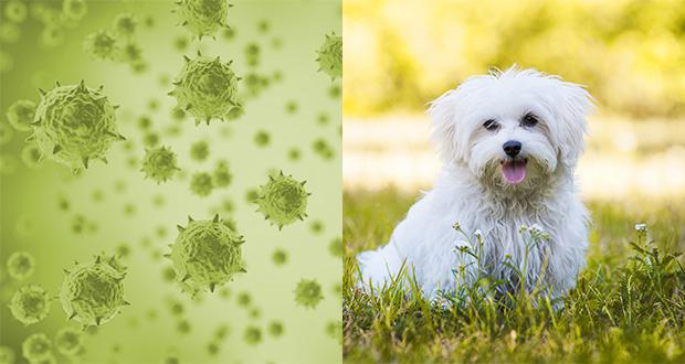 Minute Virus of Canines - Parvovirus canino tipo 1