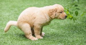 Parvovirosi, un'enterite virale problematica per i cuccioli di cane