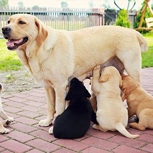 cane madre allatta cuccioli