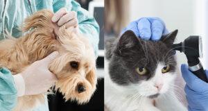 Otite nel cane e nel gatto [Percorsi diagnostici]