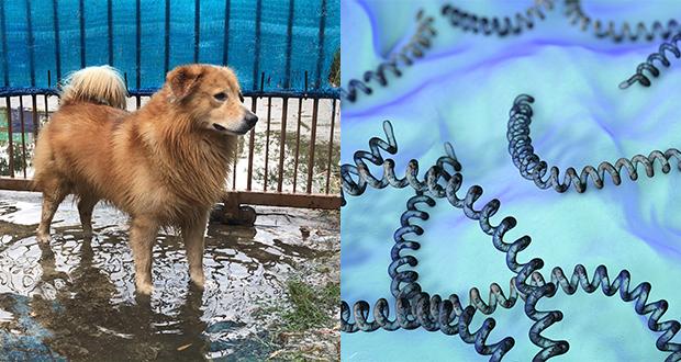 Leptospirosi canina [Percorsi diagnostici]