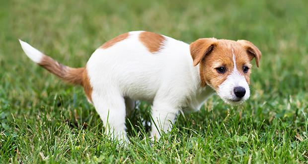 Enteriti del cane cucciolo [Percorsi diagnostici]
